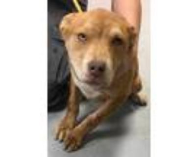 Adopt 47698634 a Red/Golden/Orange/Chestnut American Pit Bull Terrier / Mixed