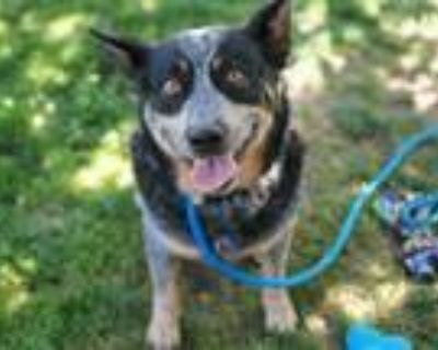 Adopt A1222614 a Australian Cattle Dog / Blue Heeler