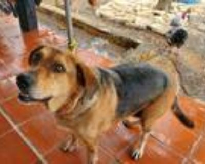 Adopt Lola a Black - with Tan, Yellow or Fawn Basset Hound / Hound (Unknown