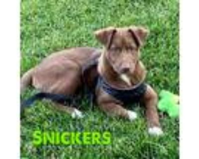 Adopt Snickers a Brown/Chocolate Border Collie / Mixed Breed (Medium) / Mixed