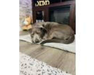 Adopt Sky a Gray/Blue/Silver/Salt & Pepper Labrador Retriever / American Pit