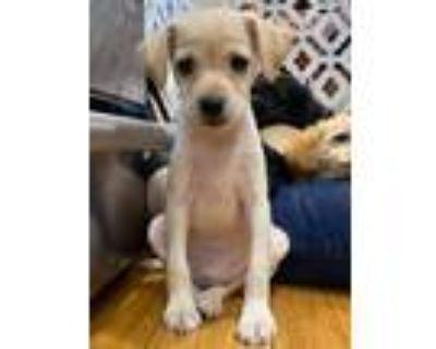 Adopt Bradley a Terrier