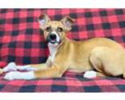 Adopt Amaretto a Mixed Breed