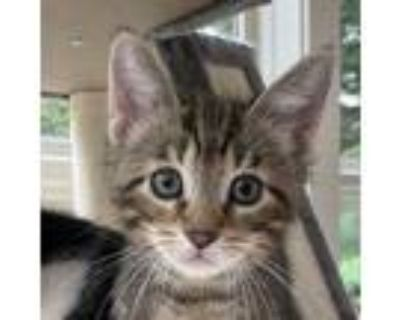 Adopt Cappuccino a Brown or Chocolate (Mostly) Domestic Shorthair / Mixed cat in