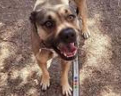 Adopt TOBY a Pit Bull Terrier, Mixed Breed