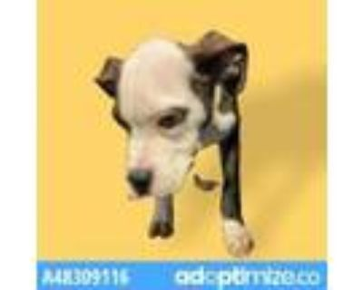 Adopt 48309116 a Brindle American Pit Bull Terrier / Mixed dog in El Paso