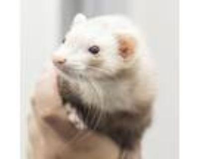 Adopt Della a Ferret small animal in Middletown, RI (32005661)