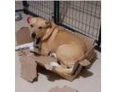 Adopt Jack a Tan/Yellow/Fawn Labrador Retriever / Australian Cattle Dog / Mixed