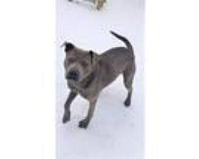 Million Dollar Milo, Pit Bull Terrier For Adoption In Norfolk, Virginia