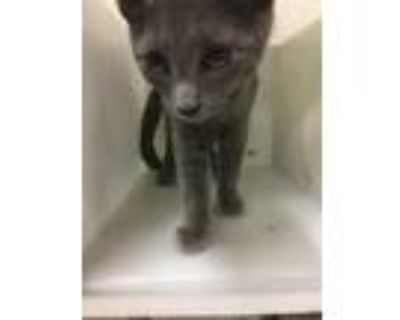 Adopt RAVENCLAW a Gray or Blue Domestic Shorthair / Mixed (short coat) cat in