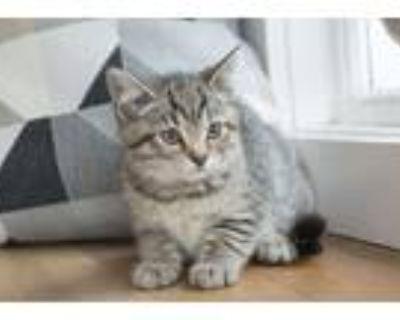 Adopt Khris Kirkpatrick a Brown Tabby Domestic Shorthair (short coat) cat in