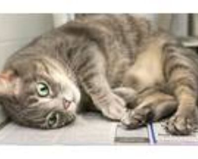 Adopt Sparky a Domestic Shorthair / Mixed cat in LAFAYETTE, LA (31684919)