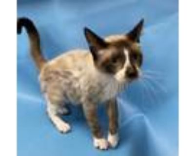 Adopt Onyx a Tan or Fawn Domestic Shorthair / Siamese / Mixed cat in Coon