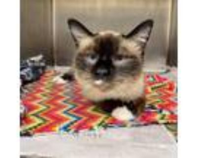 Adopt Yertle a White (Mostly) Siamese / Mixed cat in Wichita, KS (32234003)