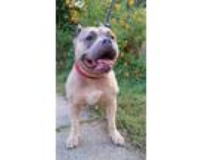 Adopt Turtle a Staffordshire Bull Terrier