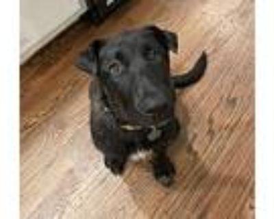 Allie, Labrador Retriever For Adoption In Denver, Colorado