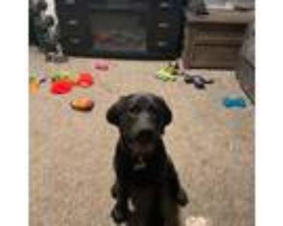 Adopt MAVERICK a Black Labrador Retriever / Mixed dog in Los Angeles