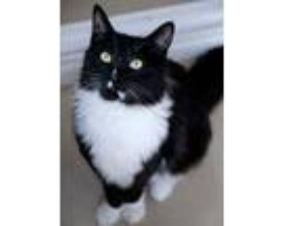 Adopt Oliver a Tuxedo, Domestic Medium Hair