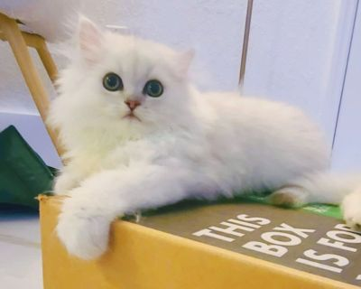 Dollface Persian Chinchilla Kittens with CFA pedigree White with Silver Golden Shading born March 24