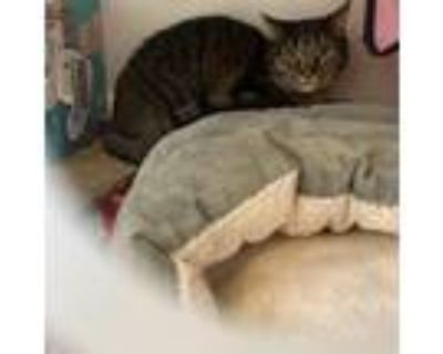Adopt Luna a Brown or Chocolate Domestic Shorthair / Mixed cat in Colorado