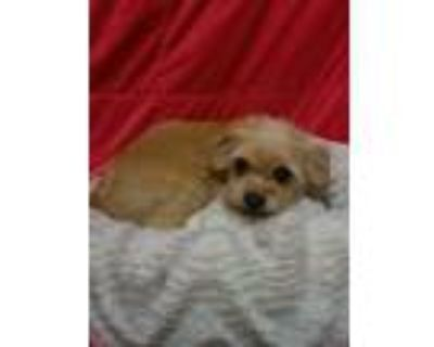 Adopt Sofia a Yorkshire Terrier, Cairn Terrier