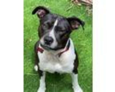 Adopt Penny a LOVE Bug! a Pit Bull Terrier, Terrier