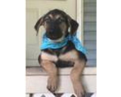 Adopt Curry a Black - with Tan, Yellow or Fawn Shepherd (Unknown Type) / Mixed