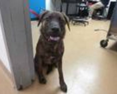 Adopt DESTINY a Brindle - with White Plott Hound / Mixed dog in St.