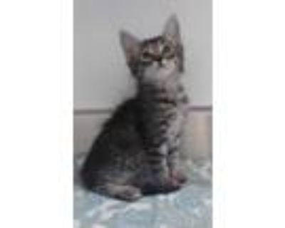 Adopt 654977 a All Black Domestic Shorthair / Domestic Shorthair / Mixed cat in