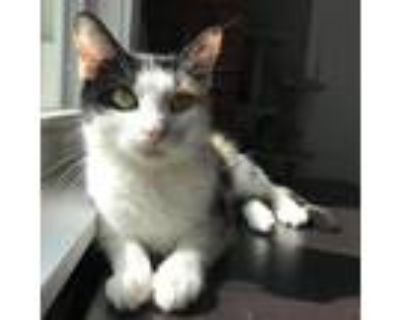 Adopt Ana a White Domestic Shorthair / Mixed cat in Gibsonia, PA (32035329)