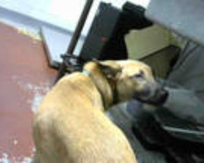 Adopt HAPPY a Tan/Yellow/Fawn - with Black Belgian Malinois / Mixed dog in
