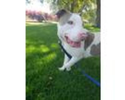 Adopt Rex a White - with Tan, Yellow or Fawn American Pit Bull Terrier / Mixed