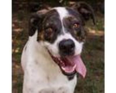 Adopt Tyson a White - with Brown or Chocolate Hound (Unknown Type) / Mixed dog