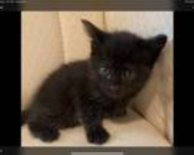 Adopt Glutton a All Black Domestic Mediumhair / Mixed cat in Bossier City