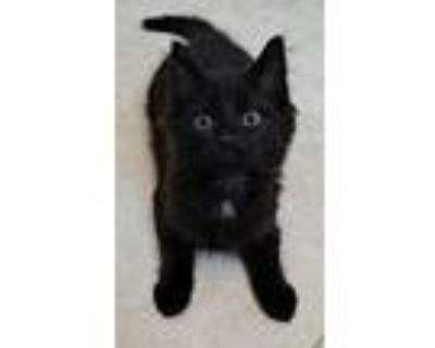 Adopt Luther a Domestic Medium Hair