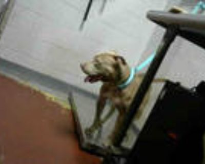 Adopt HAVANNA a Brown/Chocolate - with White American Pit Bull Terrier / Mixed