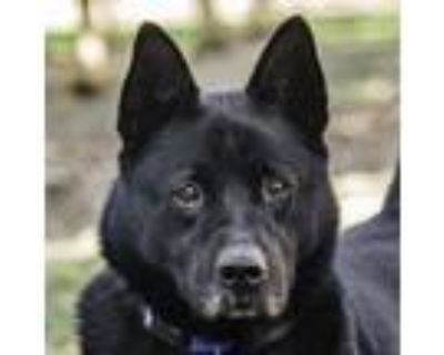 Adopt Sheba a Chow Chow, Labrador Retriever