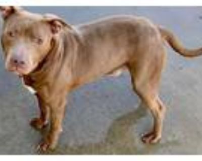 Adopt Ronan a American Staffordshire Terrier, Pit Bull Terrier