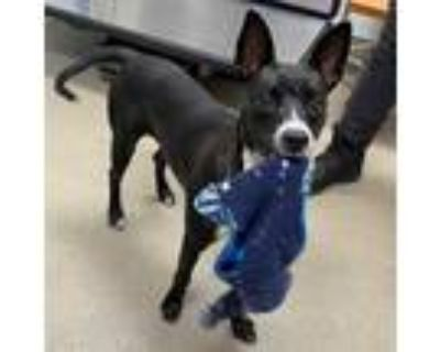 Adopt KNOX a Black - with White Basenji / Mixed dog in Fort Lauderdale