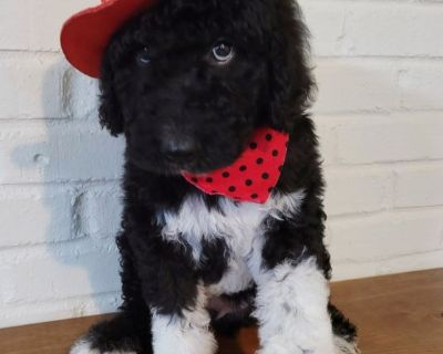 Male Airedoodle Puppy