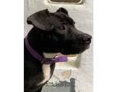 Adopt Lucy a Black - with White American Pit Bull Terrier / Mixed dog in