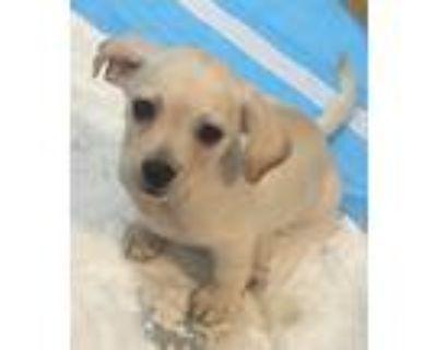 Adopt Boone a Red/Golden/Orange/Chestnut Terrier (Unknown Type