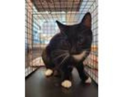 Adopt Tierra a All Black Domestic Shorthair / Domestic Shorthair / Mixed cat in