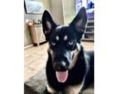 Adopt Markus a Black - with Tan, Yellow or Fawn German Shepherd Dog dog in
