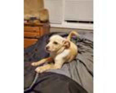 Adopt Dixie a Tan/Yellow/Fawn - with White German Shepherd Dog / Labrador