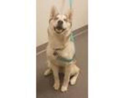 Adopt Zoe a Siberian Husky / Mixed dog in Albuquerque, NM (31206529)