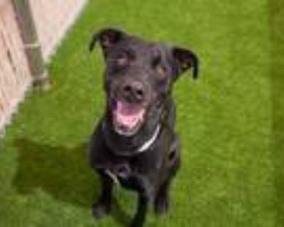 Adopt LORDE a Labrador Retriever