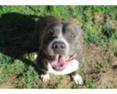 Adopt REIGN a Gray/Silver/Salt & Pepper - with White American Pit Bull Terrier /