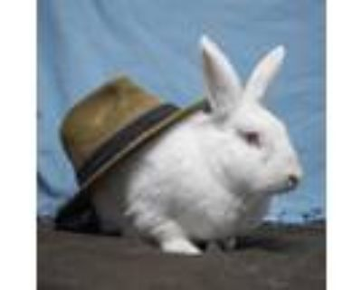 Adopt Ghost a New Zealand / Mixed rabbit in San Diego, CA (30395469)