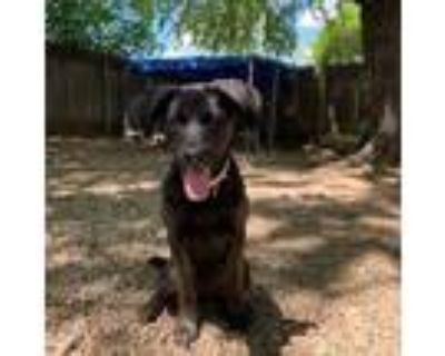 Adopt Nyla a Black Pit Bull Terrier / Labrador Retriever / Mixed dog in Madison